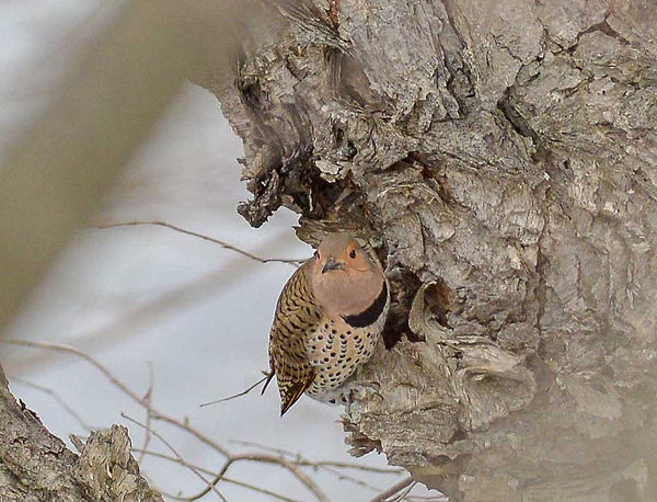 8 Northern Flicker Deborah E Bifulco.jpg