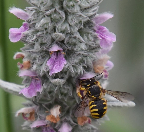 11 Wool Carder Bee on Lamb's Ear Plant J