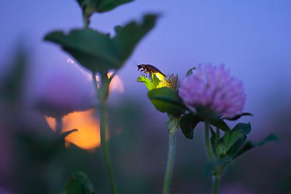 2 Firefly, clover and full moon Radim Sc