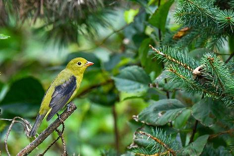 1 Scarlet Tanager fall plumage Deborah E