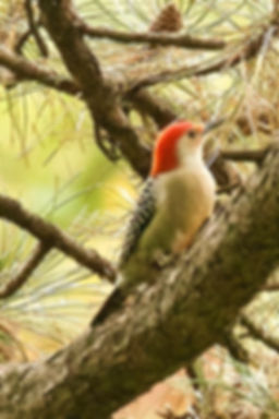 4 Red-bellied Woodpecker Dr Barry Pinche