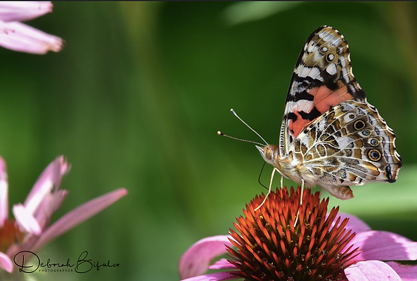 16 Painted Lady Butterfly has four eye s
