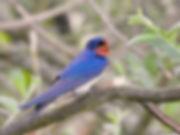 7 BarnSwallow CorineBliek.jpg