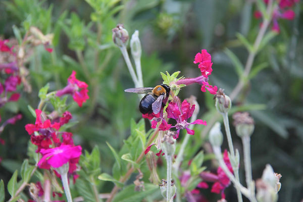 9 Eastern Carpenter Bee on Cuphea plant