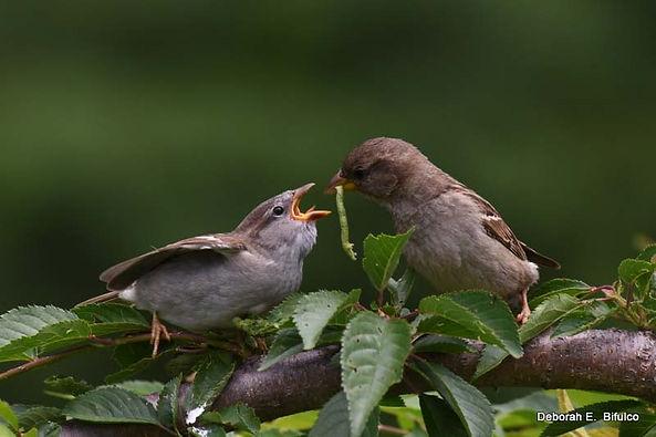 5 House Sparrows - Deborah E Bifulco.jpg