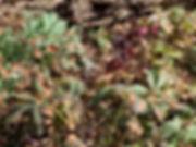 Helleborus orientalis.jpeg