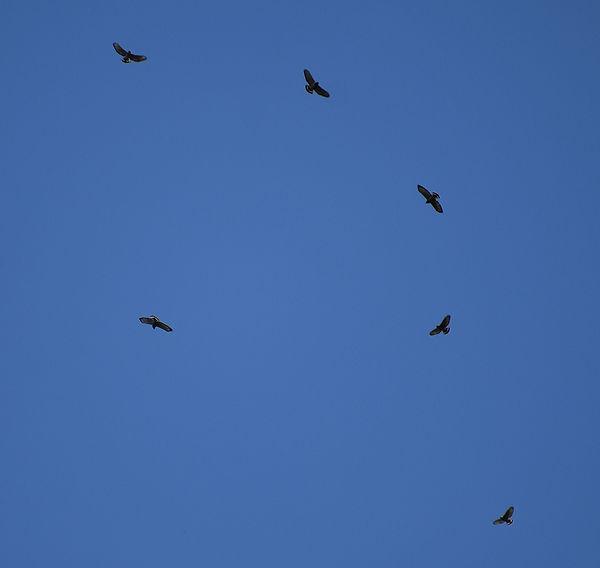 9 Broad Wing Hawks Flying Joseph Baider.