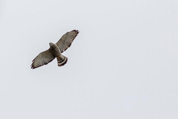 7 Cooper's Hawk Flying Terry Collins.jpg