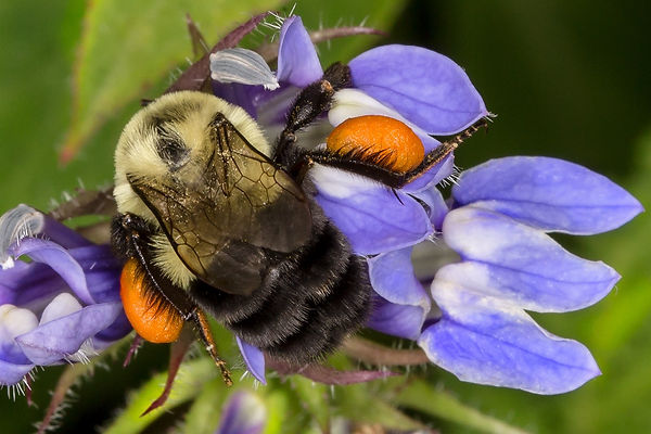 10 Common Eastern Bumble Bee with pollen