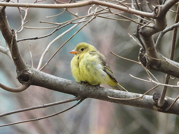 1 Western Tanager by Gig Palileo.jpeg