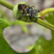 6 Leafcutter Bee Bob Peterson.jpg