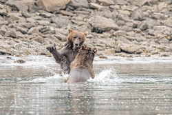 Bears splash DSC_9848