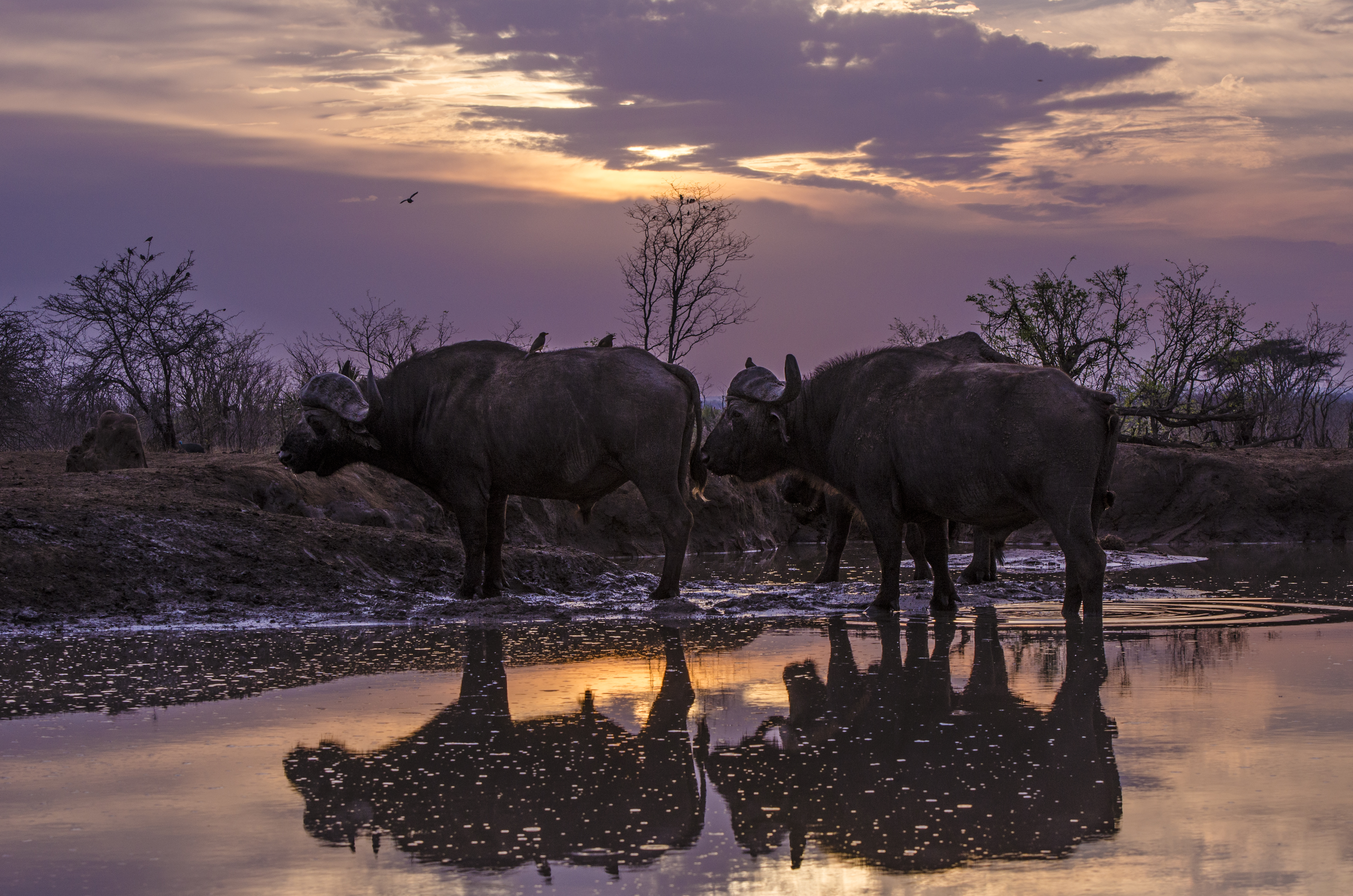 Buffalo pre-dawn_DSC9478