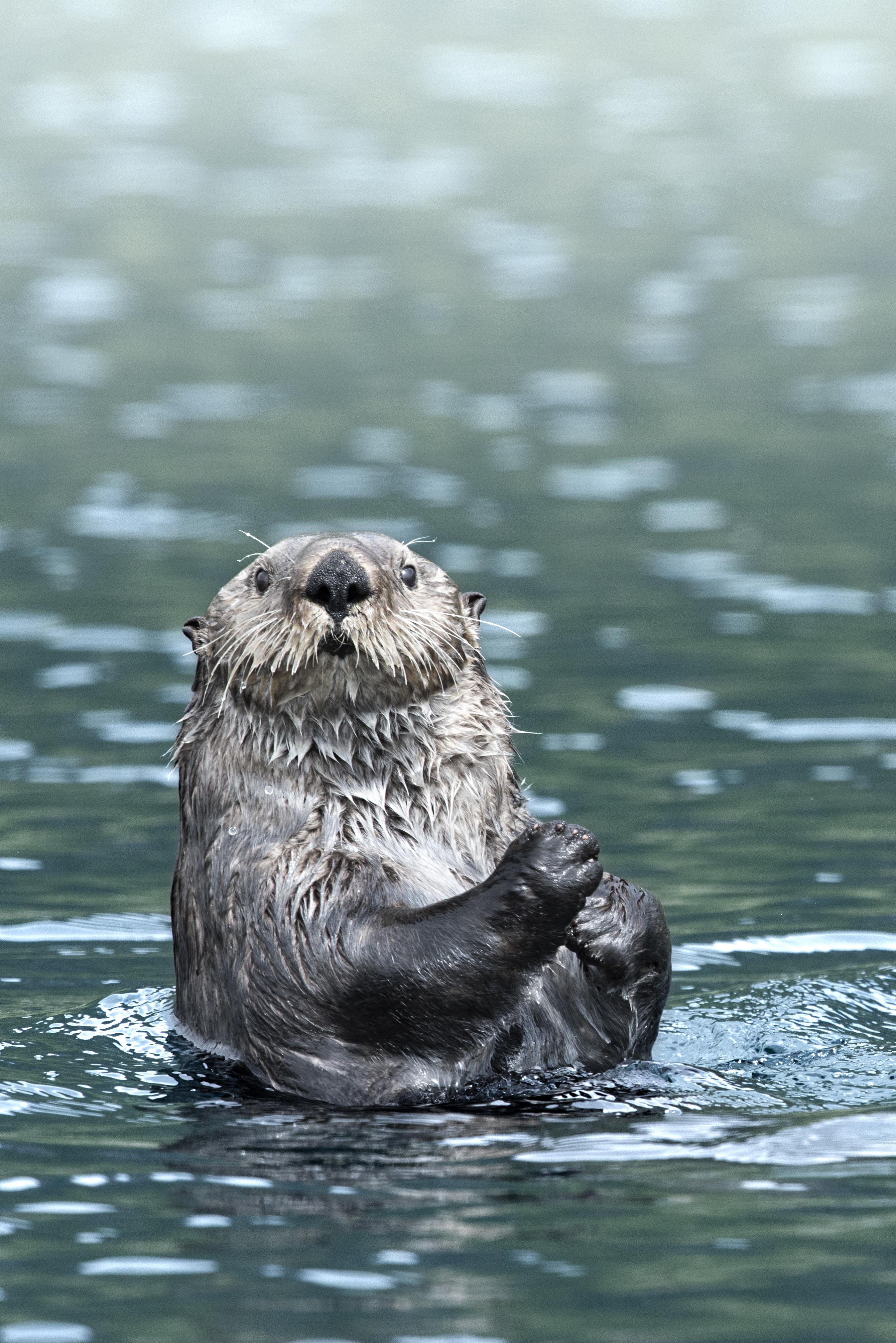 Otter DSC_0563