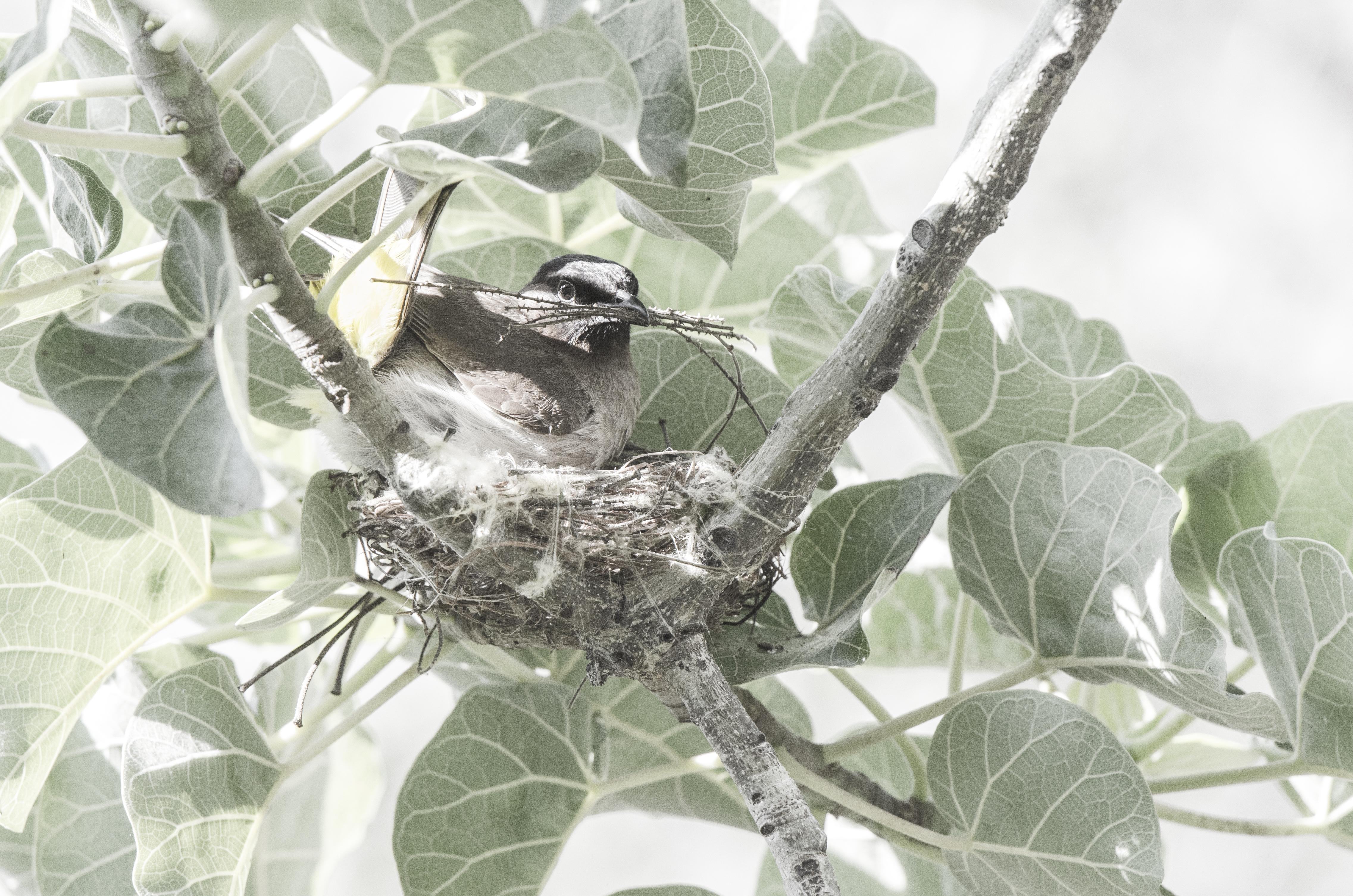 Bulbul Nesting final_DSC6869