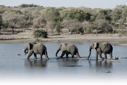 Elephants Wade_DSC8698