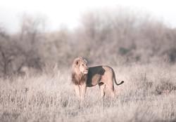 Lion Shadow DSC_4362