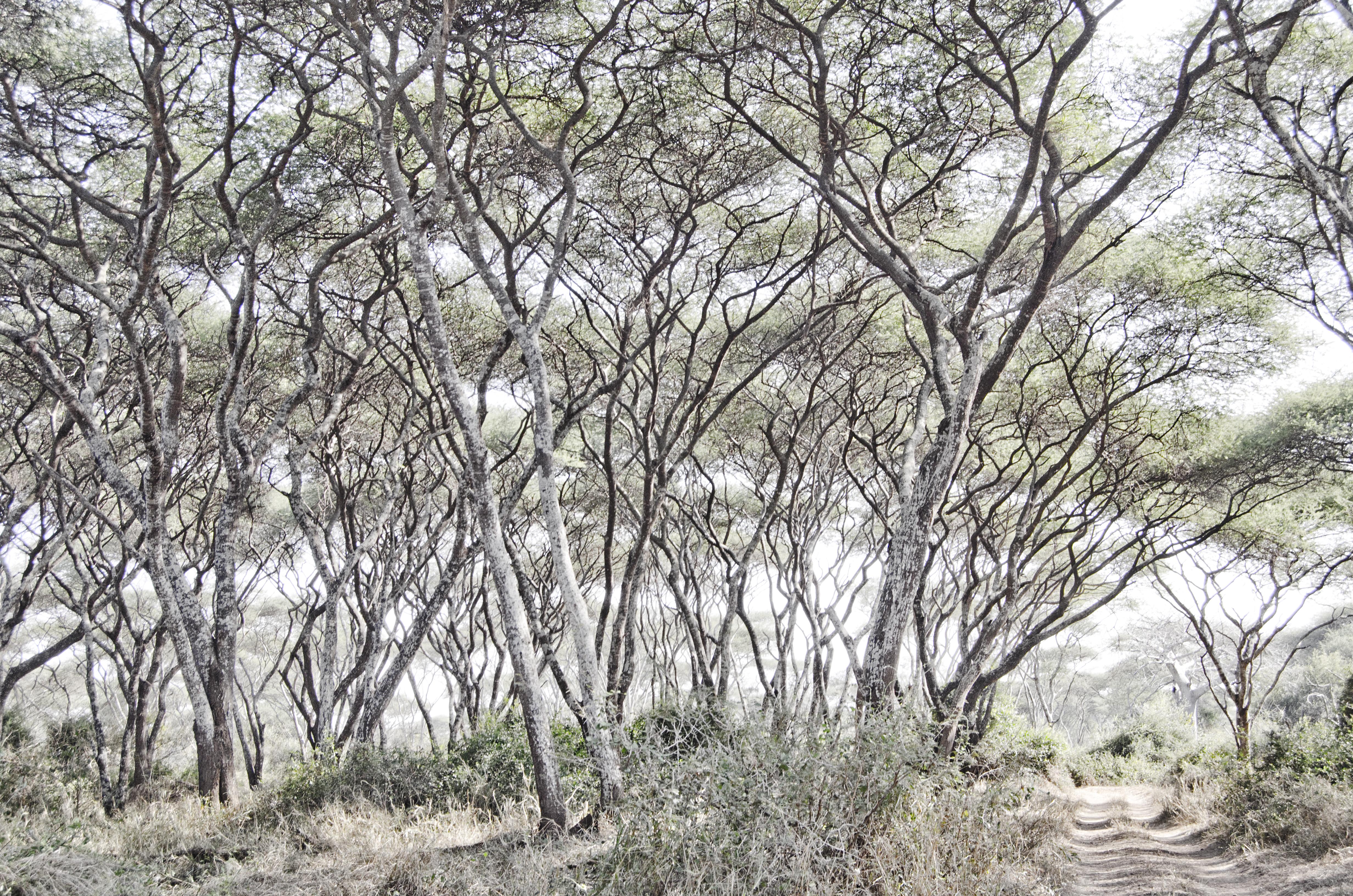Acacia ink_DSC4162