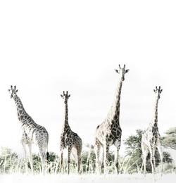 Giraffe Journey DSC_0610