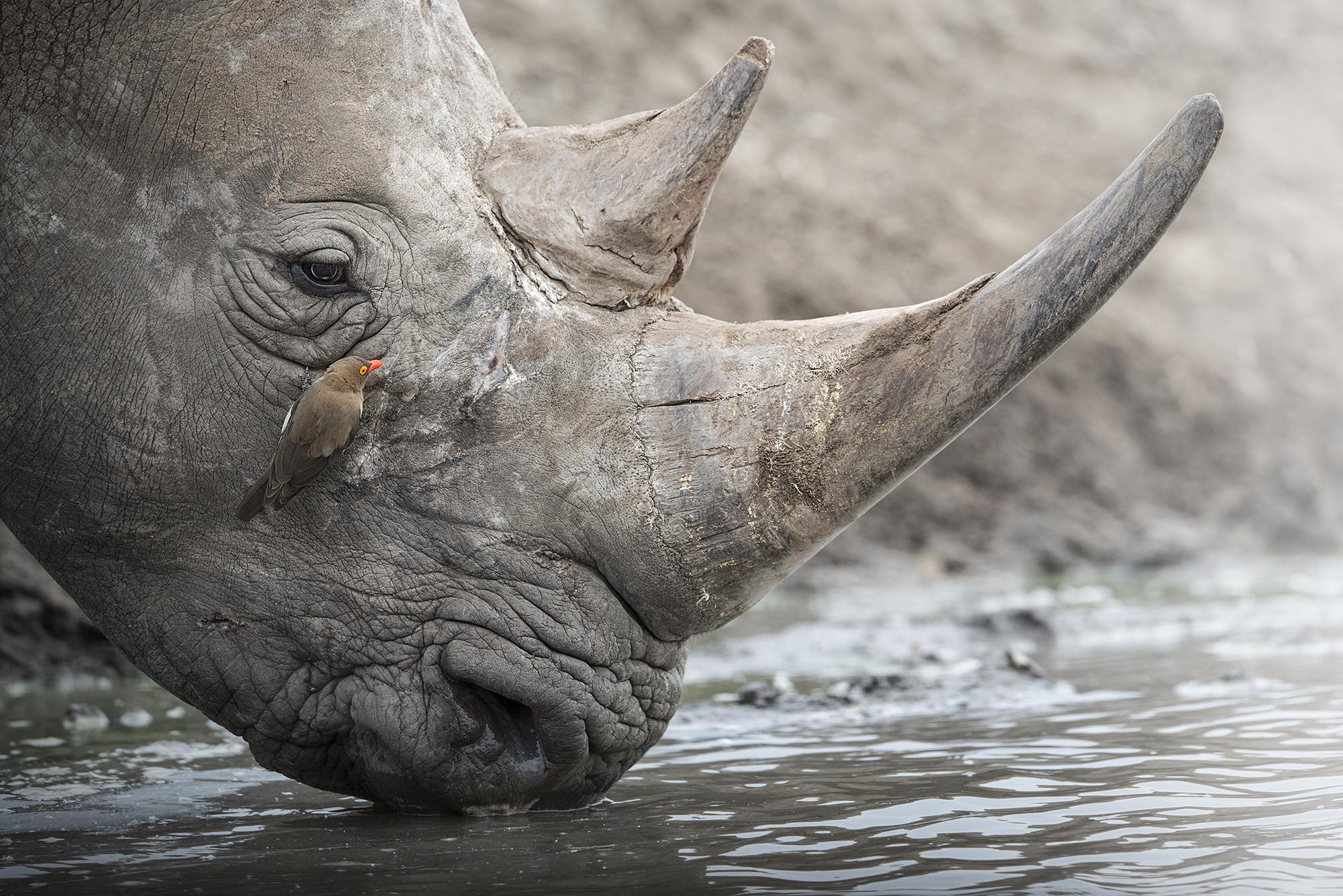 Rhino oxpecker DSC_2079