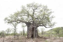 Baobab Leopard