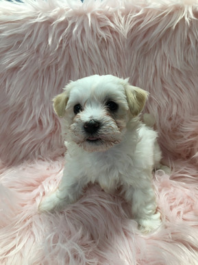 moodle puppies for sale