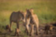 Orillard-lions-2-1024x683.jpg