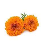 marigold-flower-500x500.jpg
