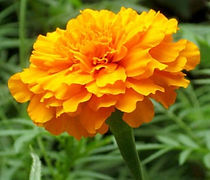 Marigold-Orange-nb-022-660x330.jpg