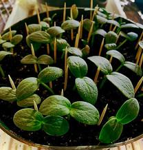 Stillage as a fertilizer