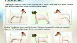 Parson Russell Terrier, Jack Russell Terrier oder doch Parson Jack Russell Terrier ?????