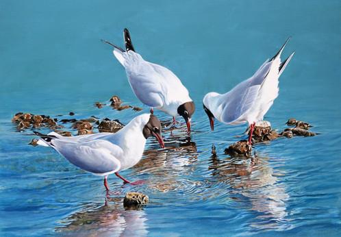 Black Headed Gulls Puddling