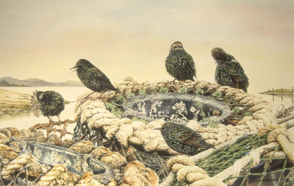 Shoreline Starlings