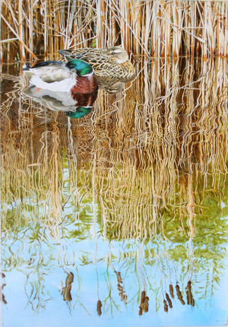 Mallards and Mayfly