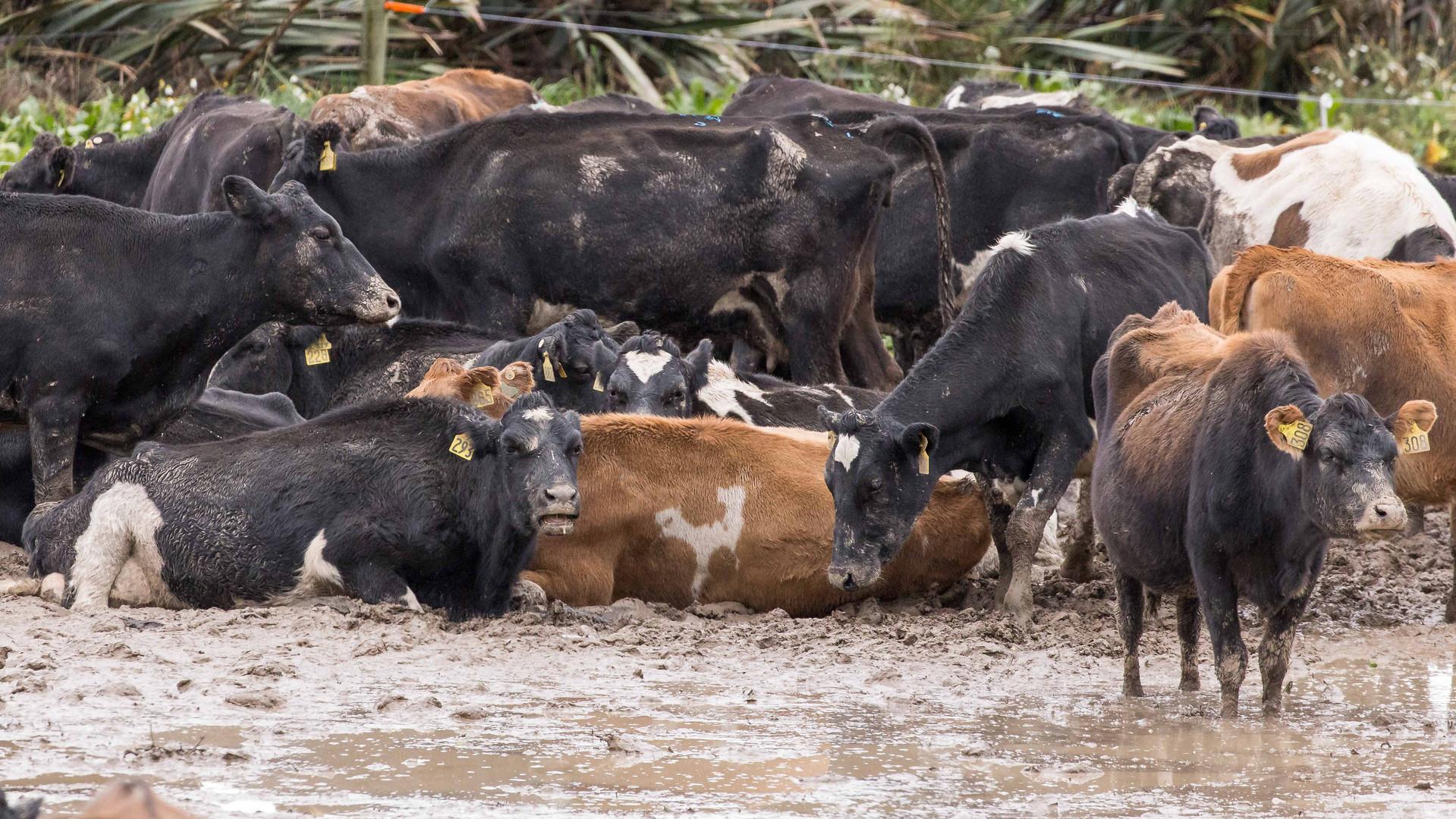 cows lie in mud