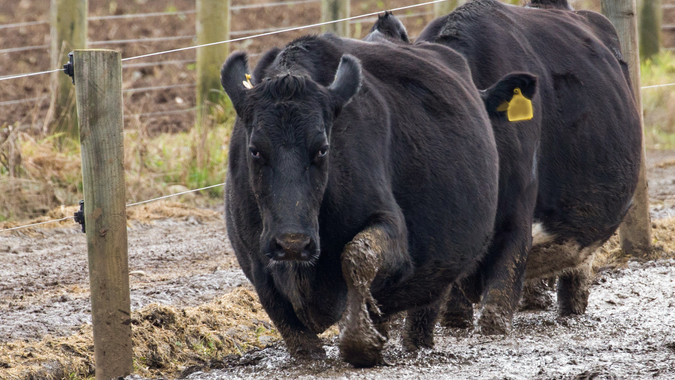 cows walk through mud
