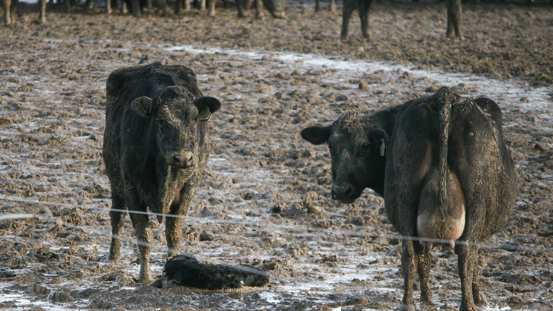 Calves struggle to stand up
