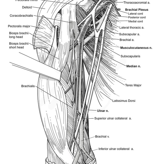 Neurovasculature of the Anterior Arm
