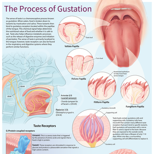 The Process of Gustation