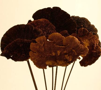 Sponge Mushroom -Brown