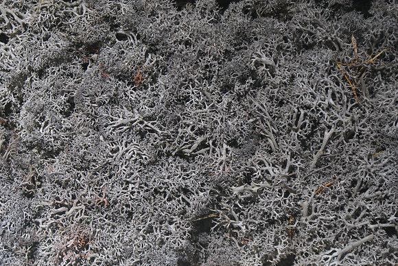 Reindeer Moss - Grey