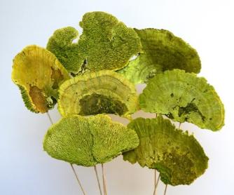 Sponge Mushroom - Lime