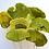 Thumbnail: Sponge Mushroom - Lime