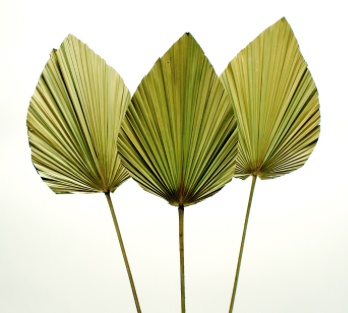 Dried Anahaw Leaf - Green