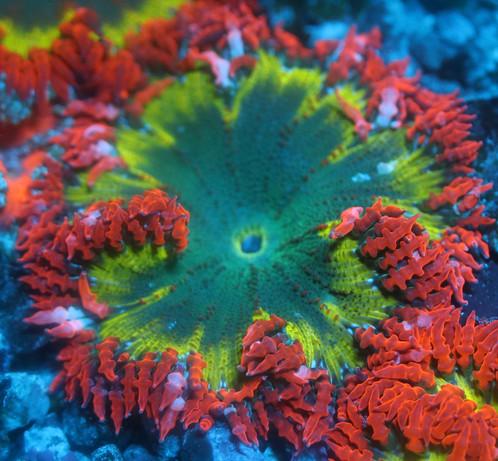 rock flower red