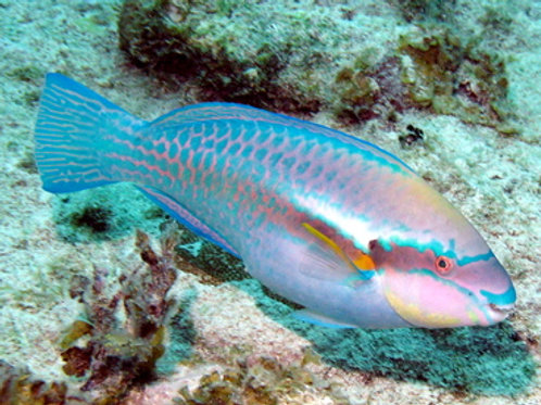 Striped Parrotfish (Scarus iserti)