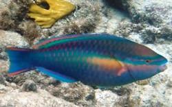 princess-parrotfish_5534