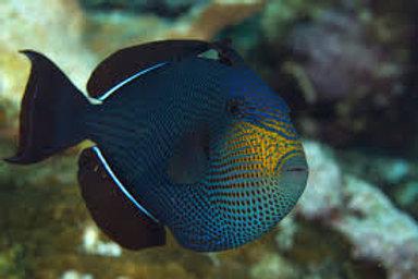 Black Durgon (Melichthys niger)