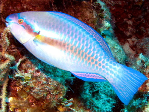 Striped Parrotfish (Scarus iserti)