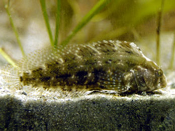 Florida Blenny (Chasmodes saburrae)